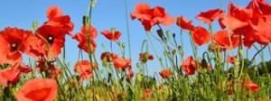 poppy-flowers-320x120